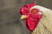 stock photo of cockfight  - red rooster close up of head on clean background - JPG