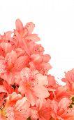 stock photo of azalea  - Close up of salmon pink azalea blooms isolated on white background - JPG