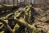 picture of fungus  - Rotten trees in a Danish forest broken down by storm - JPG