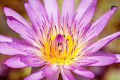 stock photo of water lilies  - Purple water lily closeup showing yellow stamens and honeybee searching for nectar ** Note: Shallow depth of field ** Note: Visible grain at 100%, best at smaller sizes - JPG