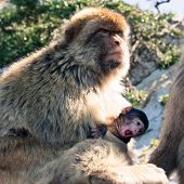 image of gibraltar  - Barbary Macaque apes on The Rock of Gibraltar - JPG