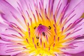 foto of water lilies  - Purple water lily closeup showing yellow stamens and honeybee searching for nectar - JPG