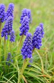foto of orientation  - Grape hyacinth  - JPG