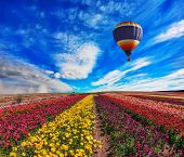 picture of buttercup  - Large field of colorful buttercups - JPG