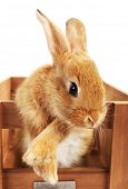 picture of wooden crate  - Cute brown rabbit in wooden crate isolated on white - JPG