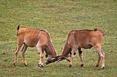 image of eland  - Two eland  - JPG