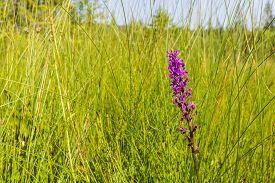 stock photo of marshes  - Dactylorhiza majalis  - JPG