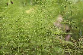 foto of horsetail  - A group of horsetail in the nature - JPG