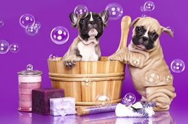 stock photo of bulldog  - French bulldog puppies in wooden wash basin with soap bubble - JPG