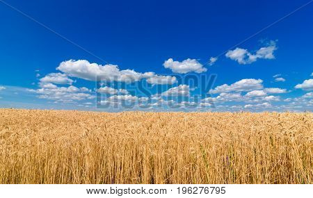 poster of Golden Wheat In The Field In Sunlight With Blue Sky And Clouds, Free Space. Spikes Of Ripe Wheat Fie