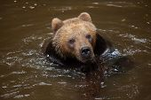 Kamchatka brown bear (Ursus arctos beringianus), also known as the Far Eastern brown bear swimming. poster