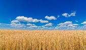 Golden Wheat In The Field In Sunlight With Blue Sky And Clouds, Free Space. Spikes Of Ripe Wheat Fie poster