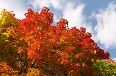 stock photo of maple tree  - Colored maple leaves on blue sky with clouds - JPG