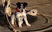 stock photo of heeler  - Blue Heeler Pup sitting with lariat and boots  - JPG