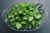 Freshly picked nettle. Basket of fresh stinging nettle leaves. poster