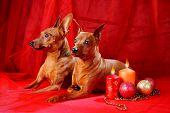 pic of miniature pinscher  - Miniature Pinschers on a red background. The Miniature Pinscher (Zwergpinscher Min Pin) is a small breed of dog of the Pinscher type developed in Germany. ** Note: Slight graininess, best at smaller sizes - JPG