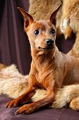 foto of miniature pinscher  - The Miniature Pinscher  - JPG