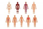 Different Human Organ System Set, Muscular, Circulatory, Respiratory, Nervous, Digestive, Excretory, poster