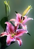 stock photo of stargazer-lilies  - Pink Stargazer lily bouquet against a milky pale background - JPG
