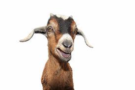 stock photo of baby goat  - Cute baby goat isolated on white background - JPG