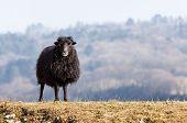Black Domestic Sheep poster