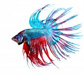 pic of fighting-rooster  - Betta Fish closeup - JPG