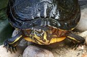stock photo of cooter  - high angle frontal detail of a freshwater turtle in stony ambiance - JPG