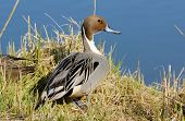 foto of pintail  - Portrait of the Pintail duck on the lake - JPG