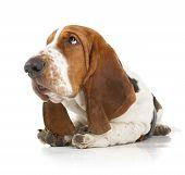 picture of basset hound  - Basset Hound dog isolated on white background - JPG