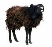 pic of suffolk sheep  - Black shhep  - JPG