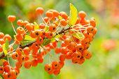 stock photo of belladonna  - Orange Poisonous Berries Fruits Close Up Details - JPG