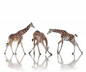 Group Of Giraffes With Reflection, Isolated On White Background