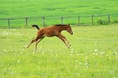 picture of breed horse  - Horse runs across the field in the spring farm - JPG