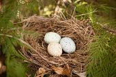 stock photo of bird egg  - three colorful bird eggs in a nest on a branch in spring  - JPG