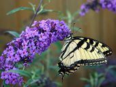 stock photo of butterfly-bush  - Beautiful Yellow Jacket Butterfly on a butterfly bush