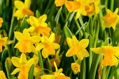 picture of jonquils  - Spring flowers yellow narcissus - JPG