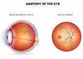 picture of cross-section  - Anatomy of the eye cross section and view of fundus - JPG
