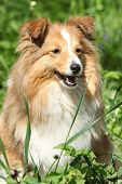 image of sheltie  - Amazing sheltie smiling in the garden in summer
