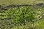 image of natal  - Protea tree at bushmans river in Giants Castle KwaZulu - JPG