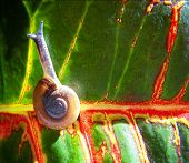 picture of escargot  - a snail on a colorful leaf done  - JPG