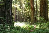 picture of redwood forest  - A trail through a redwood forest - JPG