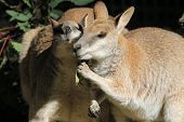 stock photo of wallabies  - Wallabies sharing a meal and having a chat - JPG