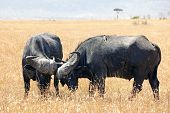 foto of sparring  - Two cape buffalo  - JPG