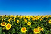 stock photo of farm landscape  - Beautiful landscape with sunflower field on background blue sky - JPG