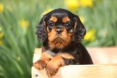 stock photo of wagon  - An adorable Cavalier King Charles puppy sits in an unfinished wood wagon.