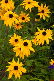 stock photo of black-eyed susans  - A wild arrangement of tall black eyed susans - JPG