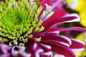 picture of chrysanthemum  - close up view of blooming purple chrysanthemum flower - JPG