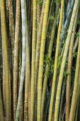stock photo of bamboo forest  - Close up big fresh bamboo grove in green color at Thailand forest - JPG