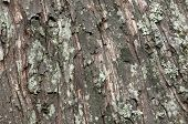 picture of lichenes  - This is a close-up of bark. This tree is old so bark has cracked and covered with lichen. ** Note: Soft Focus at 100%, best at smaller sizes - JPG