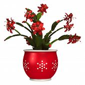 picture of schlumbergera  - 3D digital render of a Christmas cactus in a flower pot isolated on white background - JPG